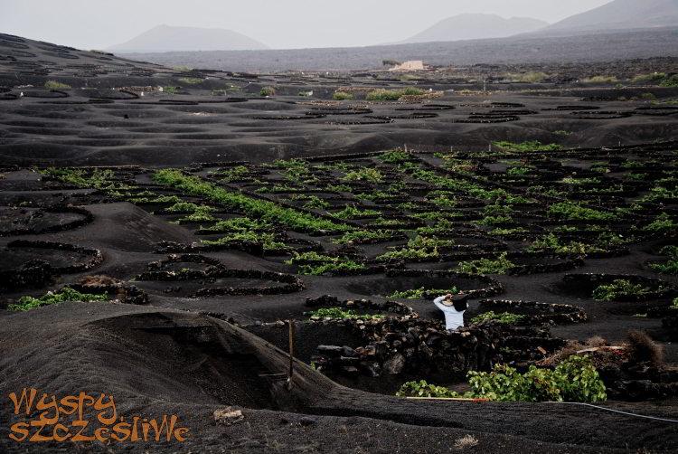 Prace w regionie winiarskim La Geria na Lanzarote
