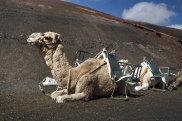 Osiodłany wielblłąd